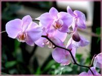 Орхидея  Киев