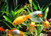 Золотая рыбка  Санкт-Петербург